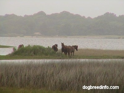 Four Ponies on a strip of land in the middle of a body of water