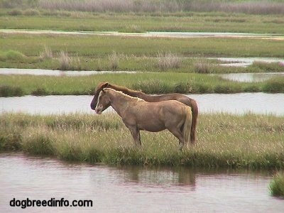 The left side of Two Ponies that are standing on grass in a marshland