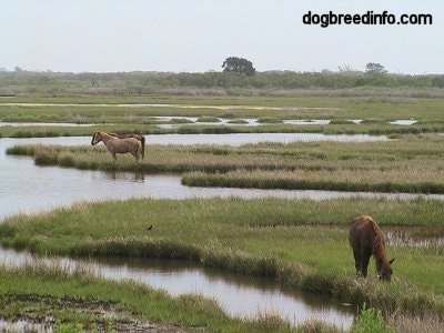 Ponies eating grass in marshland