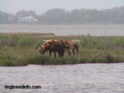 Two ponies eating on a strip of land surrounded by water