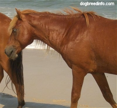 Close Up - The left backside of a brown Pony that is walking across a beach and behind it is the head of another brown Pony