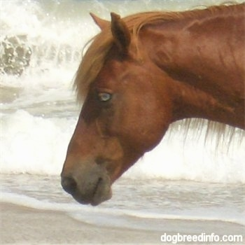 Close Up - The left side of a Blue-eyed ponys head with there is a wave crashing behind it