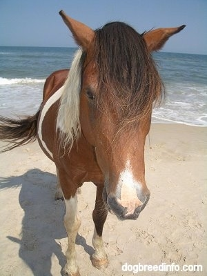 Close Up - A Pony is standing in front of the ocean