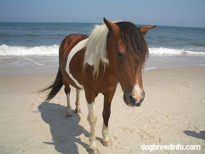 Close Up - A Pony is standing beachside along the Atlantic ocean