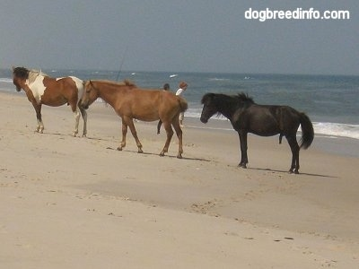 The left side of a group of Ponies standing on the beach