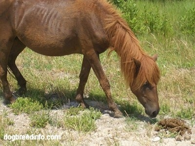 The right side of a brown Pony that is sniffing a mound of stool