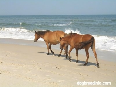 Two wild ponies holding their heads low as they walk beachside