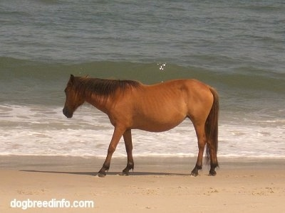 The left side of a brown pony is walking along a beach