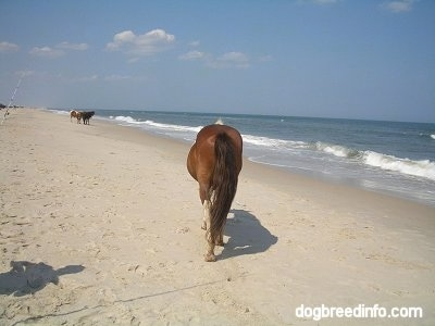 Tha back of a paint Pony that is walking across a beach