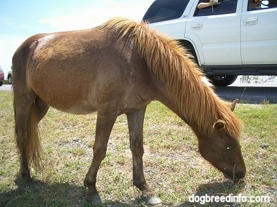 The right side of a brown Pony that is eating grass next to a car