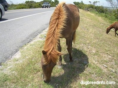 Close Up - A brown Pony is eating grass roadside