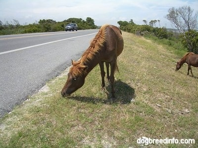 A Ponies is eating grass roadside. There is another Pony behind it and it is standign on a hill.