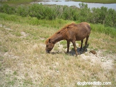 The front left side of a brown Pony that is eating grass.