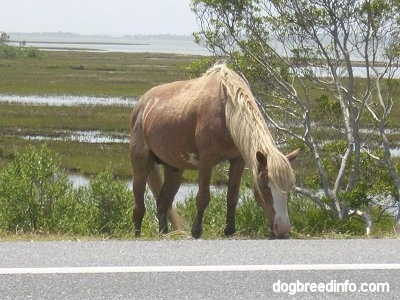 The front right side of a Pony eating grass roadside. There is a tree to the right of it.