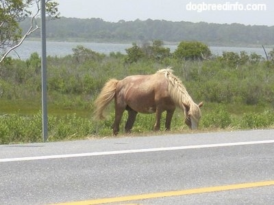 The front right side of a Pony eating grass roadside