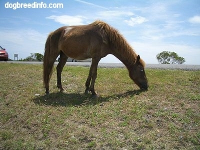 The right side of a brown Pony that is eating grass.