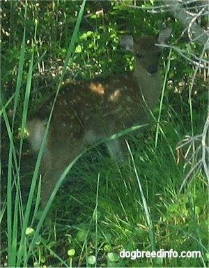 The right side of a Baby Sika Deer that is looking forward through trees.