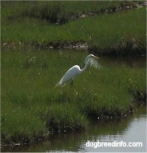 Close Up - Egret on Assateague Island