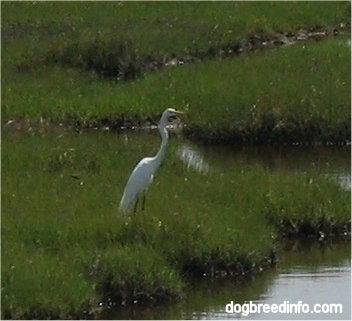 Close Up - Great Egret (Casmerodius albus) sitting on the grass in the wetlands