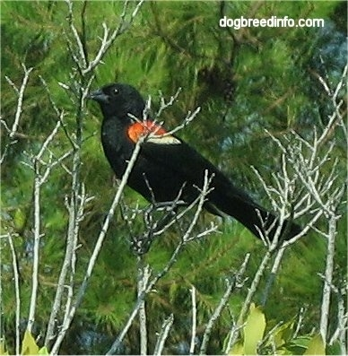 The left side of a Red Winged Black Bird sitting in tree