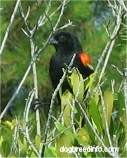 The front left side of a Red Winged Black Bird that is sitting in a tree