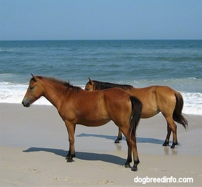 The left side of Two brown Ponies that are standing beachside