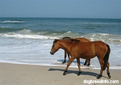 The left side of Two Ponies walking along the beach one in the water and one in the sand