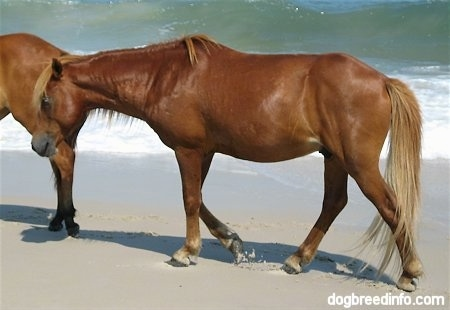 Close Up - The left side of a brown Pony that is walking beachside with some great waves coming in