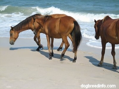 A Pony is walking beachside and Two Ponies are walking to the water at the beach.