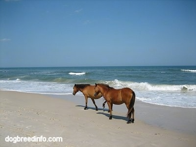 Two Ponies walking beachside with great waves in the water