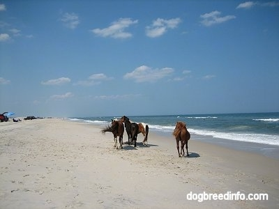 A herd of ponies on the beach of Assateague Island with people laying out on the beach in the background