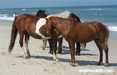 Five Ponies standing beachside with people behind them.