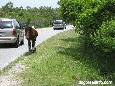 A Pony is walking roadside with cars passing by