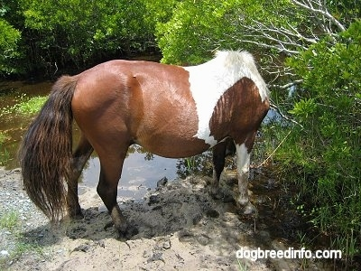 The back right side of a paint Pony drinking from the creek