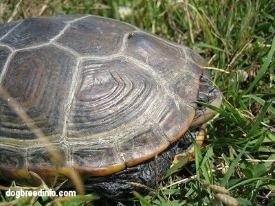 The right side of a Turtle that is in its Shell