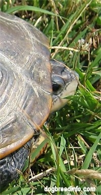 Close Up - The right side of a Turtle who has its head peaking out of its shell