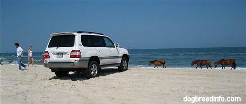 The back right side of a Toyota Land Cruiser on the beaches of Assateague Island National Seashore three ponies walking down the beach