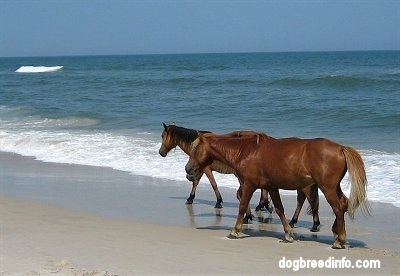 Three Ponies walking along the ocean with waves crashing next to them