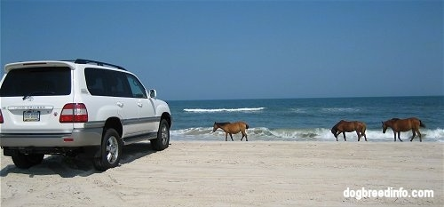 The back right side of a Toyota Land Cruiser on the beaches of Assateague Island National Seashore and there are horses in front of it