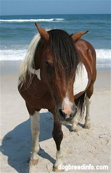 Close Up - Pony standing on the beach