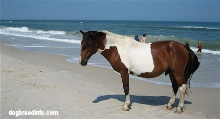 Paint pony standing on a windy beach with people swimming in the water in the background
