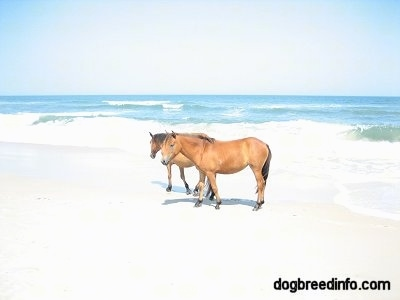 Two brown ponies standing in front of the ocean