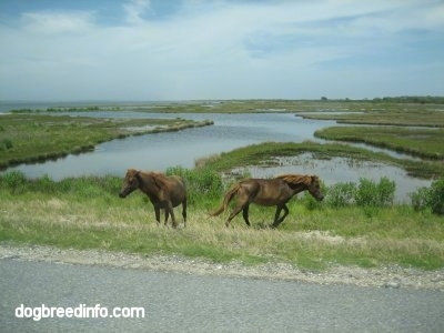 Two ponies walking in a marshy area