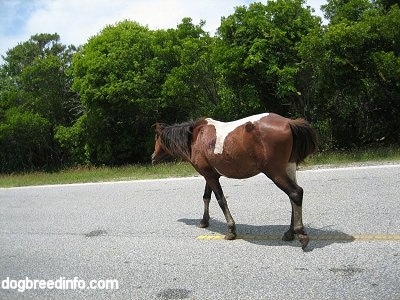 The back left side of a paint Pony walking down the road