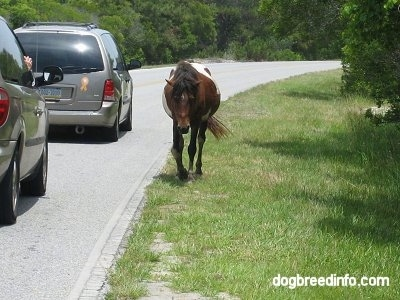 A paint Pony is trotting roadside with cars driving by
