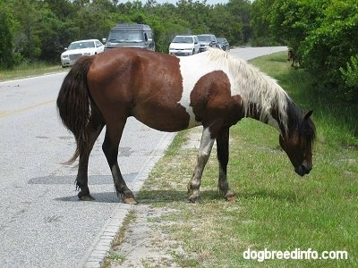 The right side of a paint pony that is walking to the side of a road