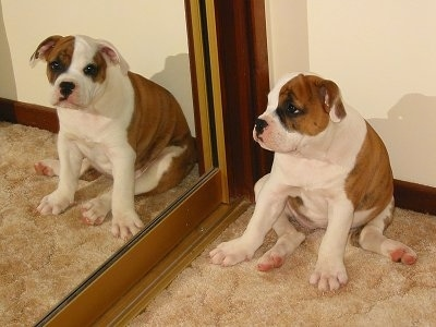 Milly the Australian Bulldog as a puppy sitting in front of a door mirror