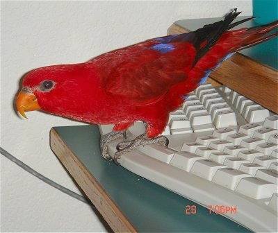 Left Profile - A Red Lory Bird is standing at the base of a split keyboard. It is leaning and looking to the left.