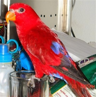 Side view - A Red Lory Bird is standing on the edge of a cup and it is looking to the left.