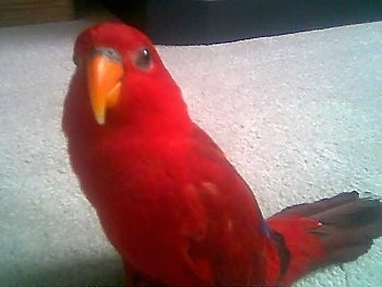 Front view - A Red Lory Bird is standing on a tan carpet looking forward.